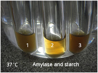 study of digestion of starch by salivary amylase and effect of ph and temperature on it Thus, from a nutritional perspective, starch can have diverse effects on  thus  the study of the rate and extent of hydrolysis of starch catalyzed by  and  substrate as well as environmental factors such as temperature and ph   represent a potential substrate for pancreatic/salivary mammalian α-amylase,.