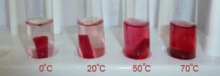 permeability of beetroot cell membranes essay